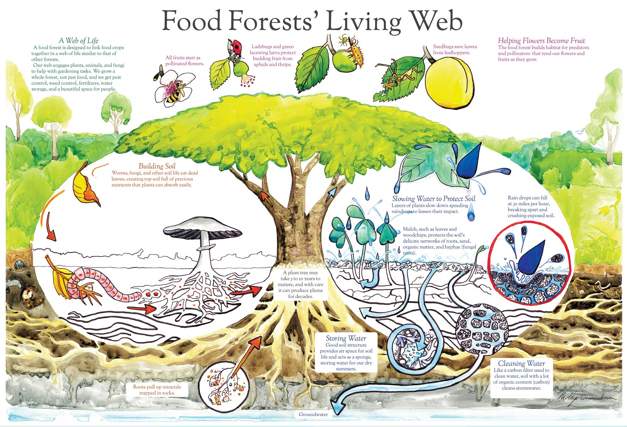 Establishing A Food Forest With Chickens Realfarmacy