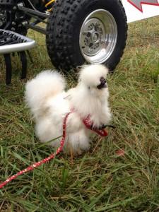 chicken leash