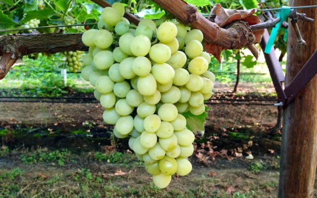 Cotton Candy Grapes 101