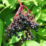 "elderberries-150x150 5 Ways to Bump up Your Kid's Diet to Beat the ""Back to School"" Bugs!"
