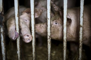 confined-pigs-behind-bars-300x199 The truth behind the meat you eat......