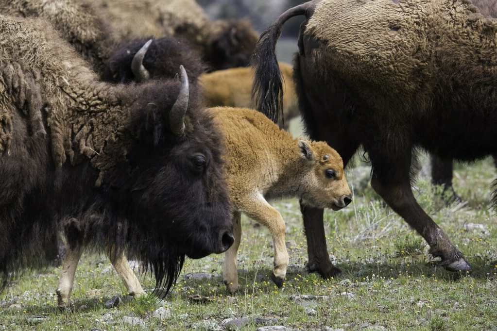 buffalo, bison, american