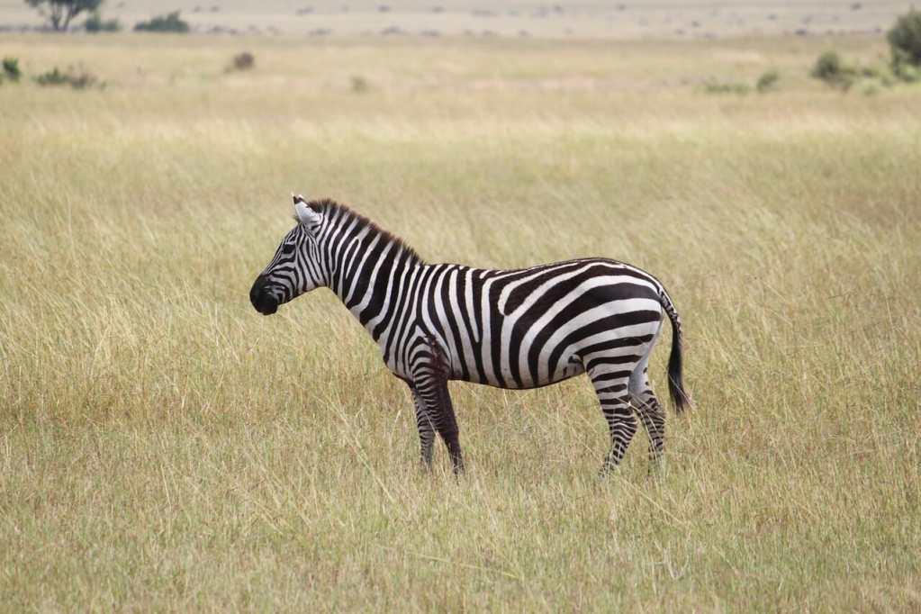 zebra, africa, serengeti