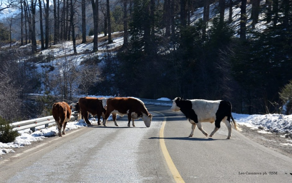 Presentan un proyecto de ley para profundizar sanciones a propietarios de animales sueltos en rutas