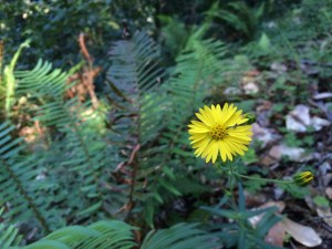 Hendy Woods yellow flower