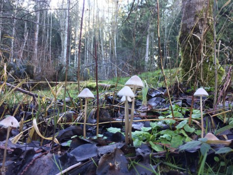 Family of mushrooms breakdown to breakthrough in the damp Douglas fir forest