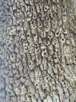 Acorn woodpecker granary tree, SF Bay