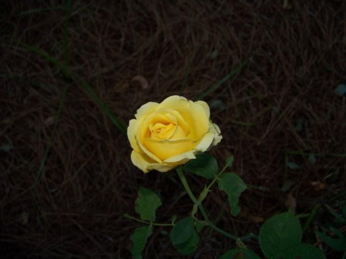 St. Patrick's rose