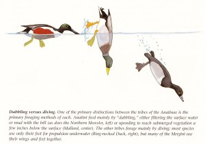 The Mystery of the Diving EmeraldHooded Quackaneer | Periodic Wanderings