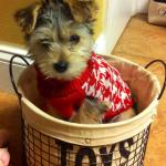 morkie in toy basket