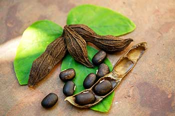 Mucuna Pruriens Ingredient