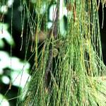 casuarina trees