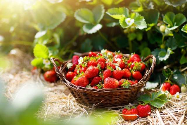 foraging strawberries