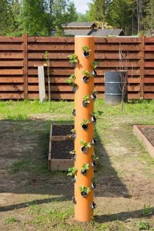 growing strawberries in pvc pipe