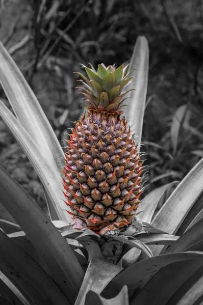 growing pineapples from tops