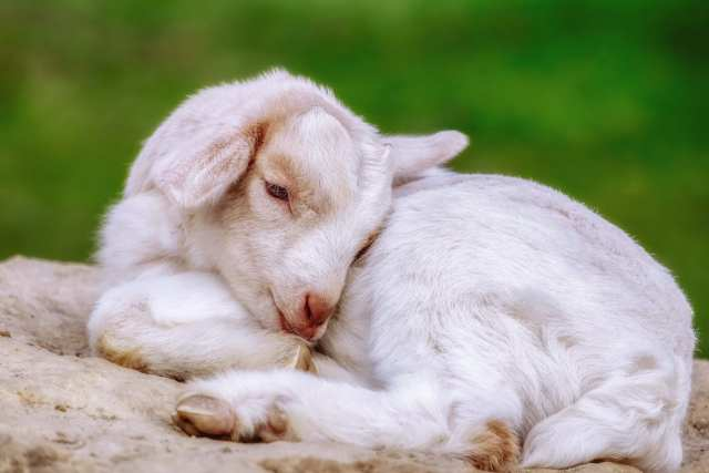 goat milk nutrition facts