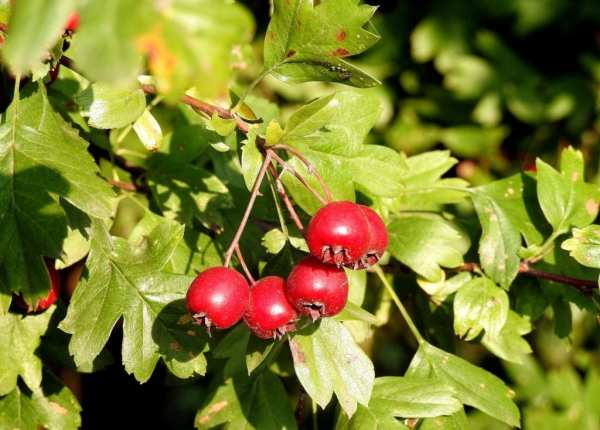 hawthorn berries and leaves