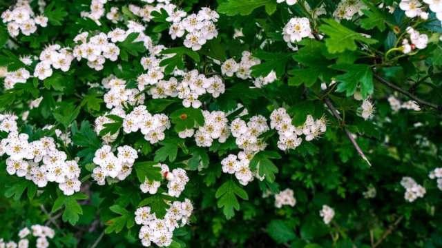 hawthorn flowers and leaves