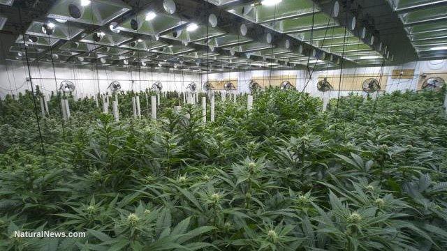 marijuana-cannabis-weed