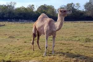 This camel is one of the residents at Bayou Wildlife Zoo.