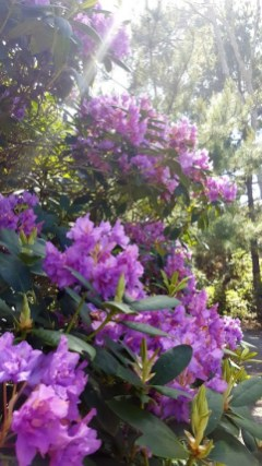 Rhododendron. Photo courtesy of Kaine Gish.