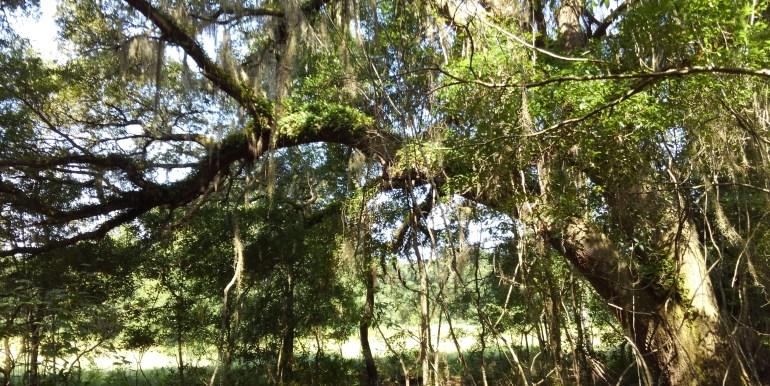 habbard big live oak