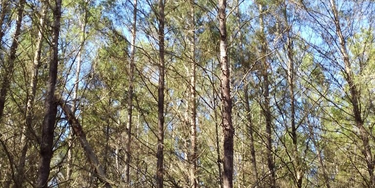 beahm 40 tall pines (Medium) (2)