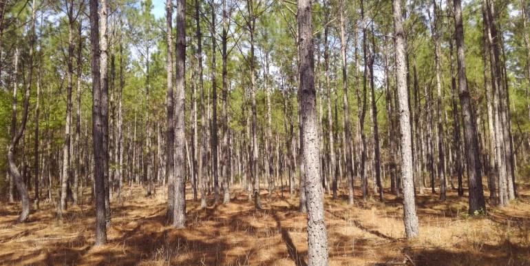 upa planted pines (Medium)