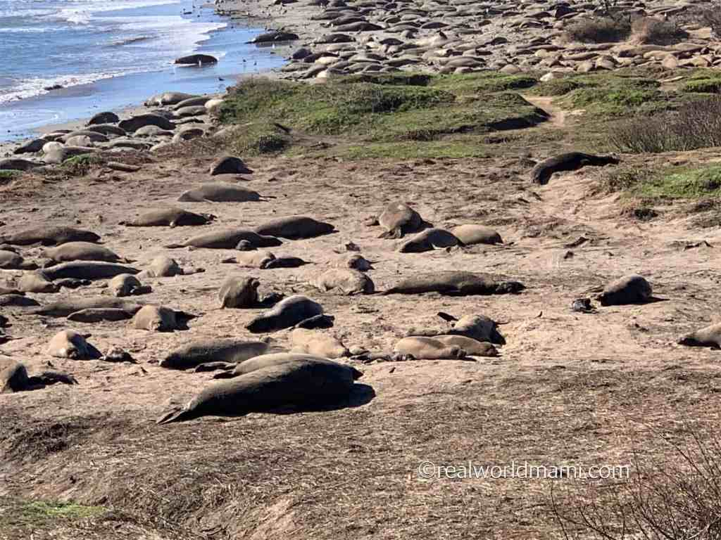 Ano Nuevo Sea lions during January