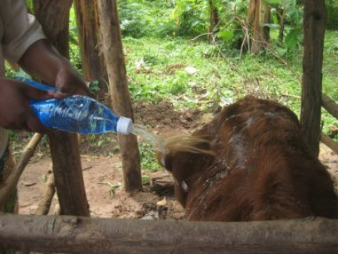 Bottle used for spraying a cow small