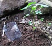 A bottle with the bottom cut off is very useful for helping get water to the roots of newly planted trees. The water is not wasted on the surface and getting the water lower in the soil encourages good root growth.