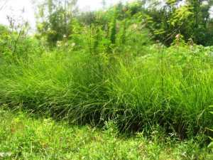 Self germinated Calliandra in Vetiver hedge