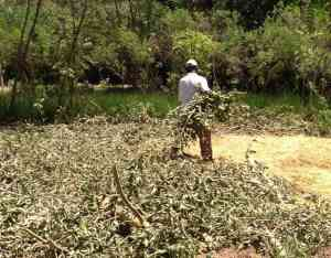 spreading fig branches for mulch