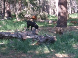 Sniffing out Mountain Lion and Black Bear, no Tigers, though.