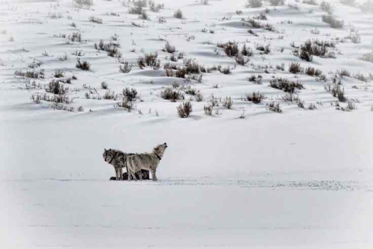 yellowstone wolves