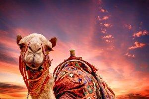 جمل في الصحراء