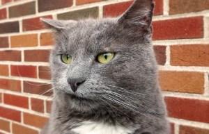 قطة رصاصية