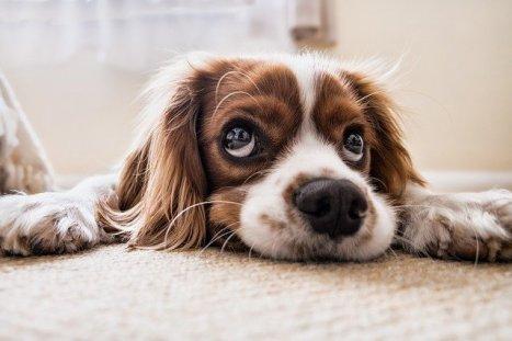 كلب حزين