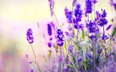 Etherische olie: lavendel