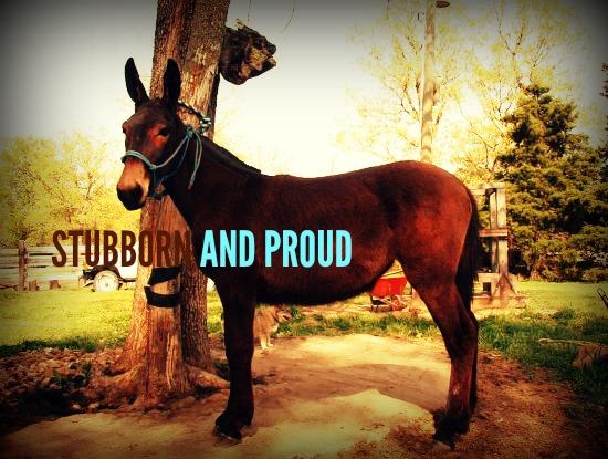 STUBBORN AND PROUD