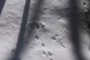 Ruffed Grouse again - you can see the impressions of the wings where it took flight.