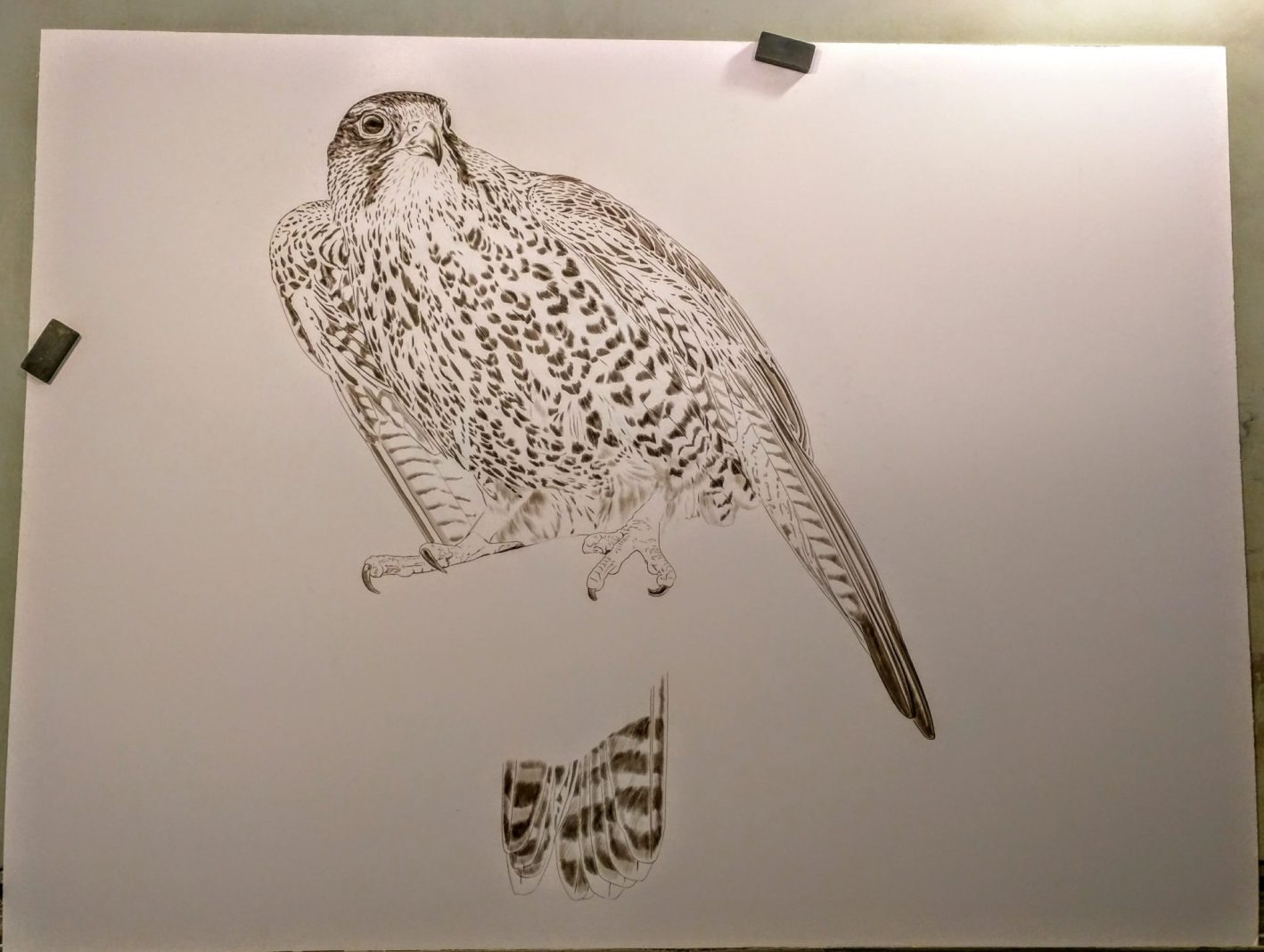 Sepia stage of new falcon paintings, 30x40, Rebecca Latham