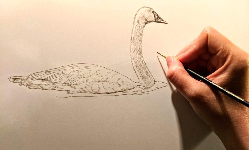 Trumpeter Swan Work in Progress Sepia Watercolor, Rebecca Latham