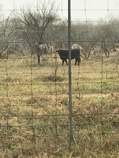 zebras tx ranch