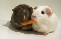 sharing carrot
