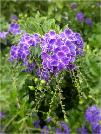 purple-flower-bush