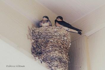 Barn Swallow Nestlings 2