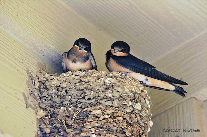 BarnSwallow Nestlings 1