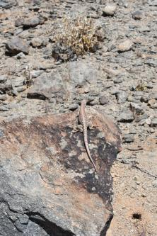 For variety, lizard that is not a chuckwalla.
