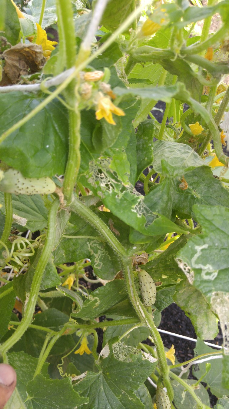 Who knew cukes begin as flowers? So cool!